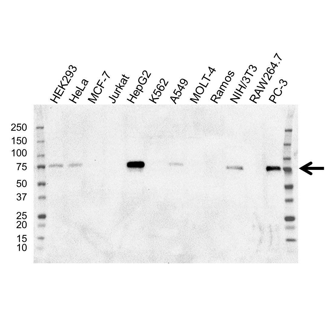 Anti SOX9 Antibody, clone OTI2H10 (PrecisionAb Monoclonal Antibody) gallery image 1