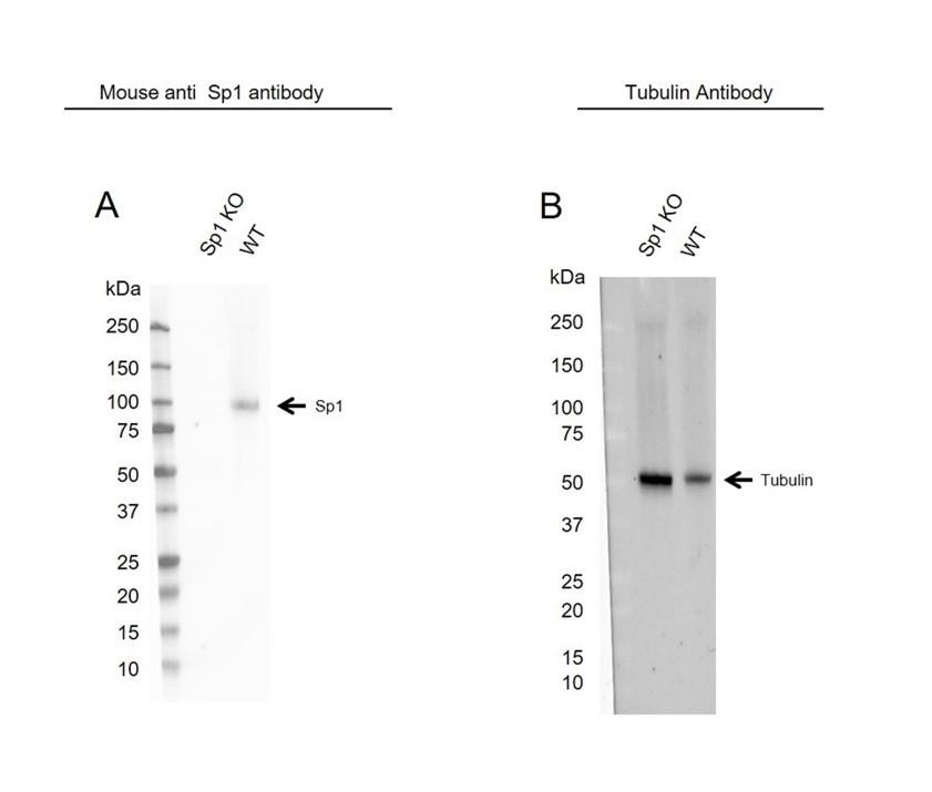 Anti Sp1 Antibody, clone 1326CT463.109.176 (PrecisionAb Monoclonal Antibody) thumbnail image 2