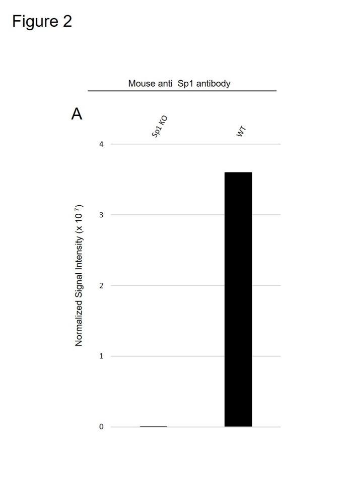 Anti Sp1 Antibody, clone 1326CT463.109.176 (PrecisionAb Monoclonal Antibody) thumbnail image 3