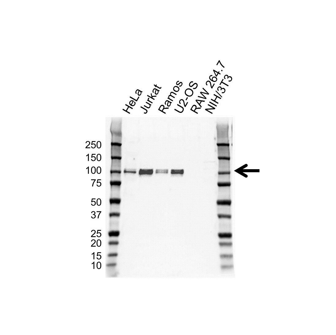 Anti Sp1 Antibody (PrecisionAb™ Monoclonal Antibody) gallery image 1