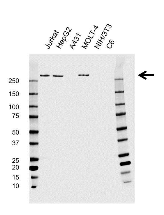 Anti Spectrin Beta Antibody (PrecisionAb Monoclonal Antibody) gallery image 1