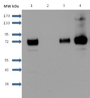 Anti Human Sphingosine 1- Phosphate Receptor 1 Antibody, clone 2B9 thumbnail image 4