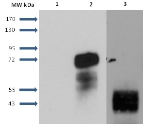 Anti Human Sphingosine 1- Phosphate Receptor 1 Antibody, clone 2B9 thumbnail image 5
