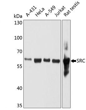 Anti SRC Antibody, clone 4F10B5 gallery image 1