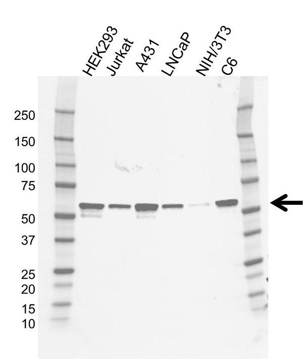 Anti SRC Antibody, clone ST03/3E9 (PrecisionAb Monoclonal Antibody) gallery image 1
