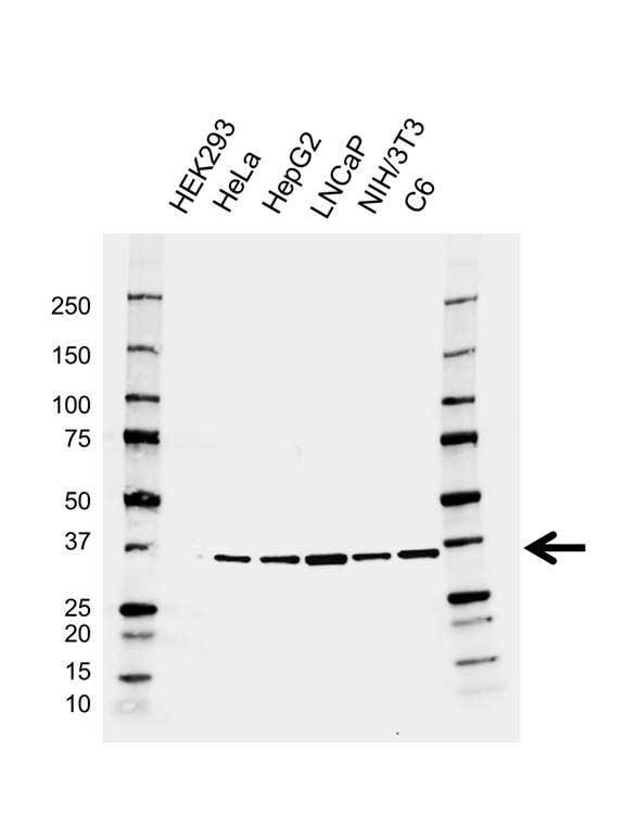 Anti SRSF1 Antibody, clone AB01/3A7 (PrecisionAb™ Monoclonal Antibody) gallery image 1