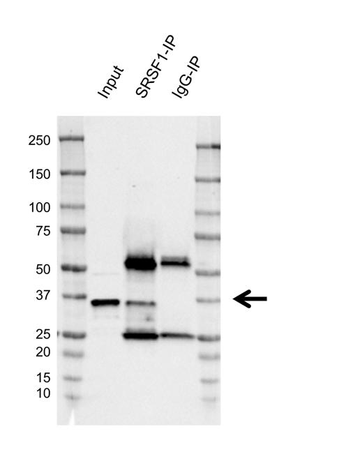 Anti SRSF1 Antibody, clone AB01/3A7 (PrecisionAb Monoclonal Antibody) thumbnail image 2