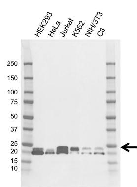 Anti SRSF3 Antibody, clone CD01/2F12 (PrecisionAb Monoclonal Antibody) gallery image 1
