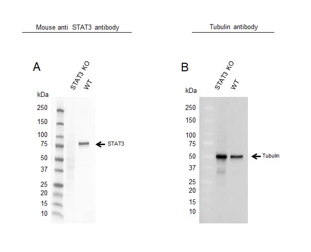 Anti STAT3 Antibody, clone 3B5 (PrecisionAb Monoclonal Antibody) thumbnail image 2