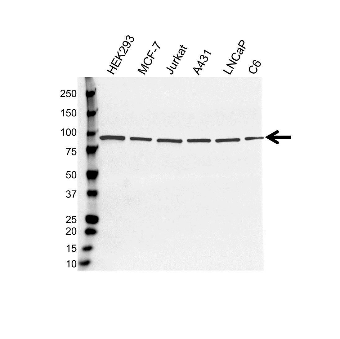 Anti STAT3 Antibody (PrecisionAb™ Monoclonal Antibody) gallery image 1