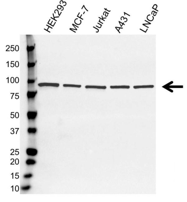 Anti STAT3 Antibody (PrecisionAb Monoclonal Antibody) gallery image 1