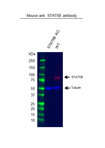 Anti STAT5B Antibody, clone 5B3 (PrecisionAb Monoclonal Antibody) thumbnail image 2