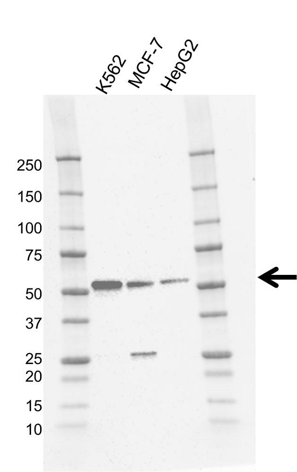 Anti STK11 Antibody, clone 11F3 (PrecisionAb Monoclonal Antibody) gallery image 1