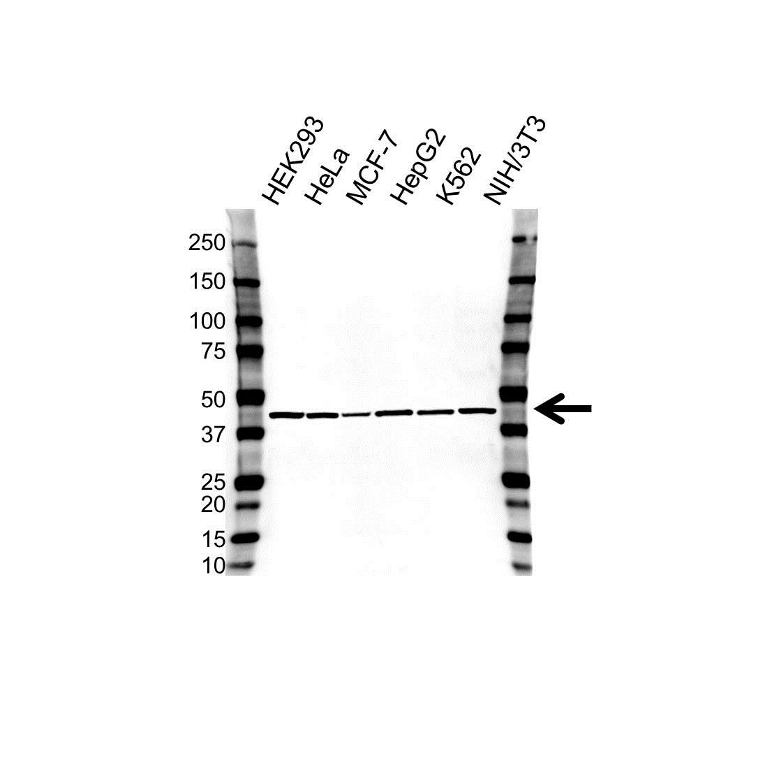 Anti STOML2 Antibody, clone OTI1G6 (PrecisionAb Monoclonal Antibody) gallery image 1