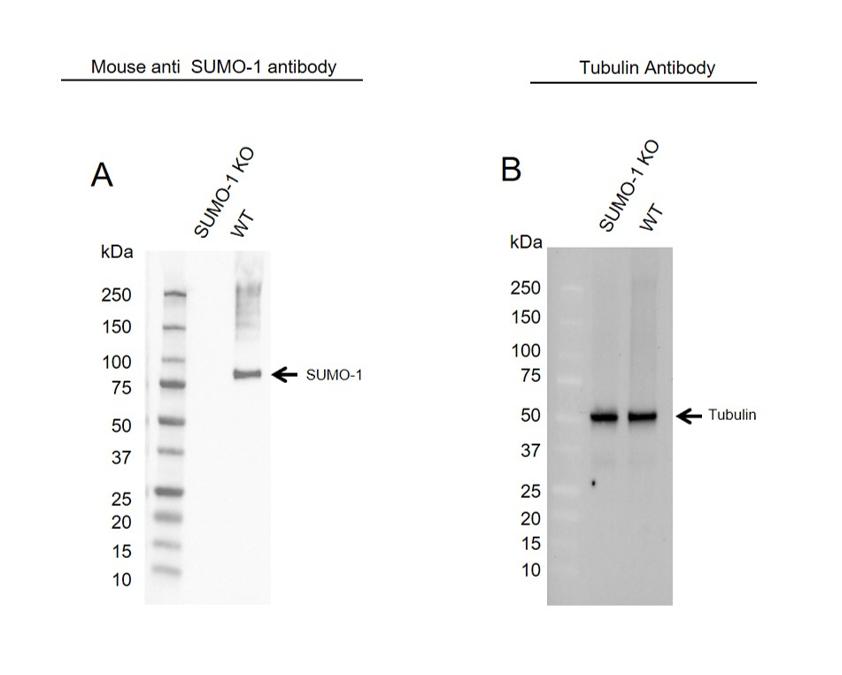Anti SUMO-1 Antibody, clone 66AT1273.94.49 (PrecisionAb Monoclonal Antibody) thumbnail image 2