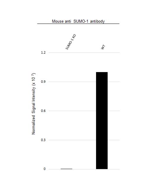 Anti SUMO-1 Antibody, clone 66AT1273.94.49 (PrecisionAb Monoclonal Antibody) thumbnail image 3