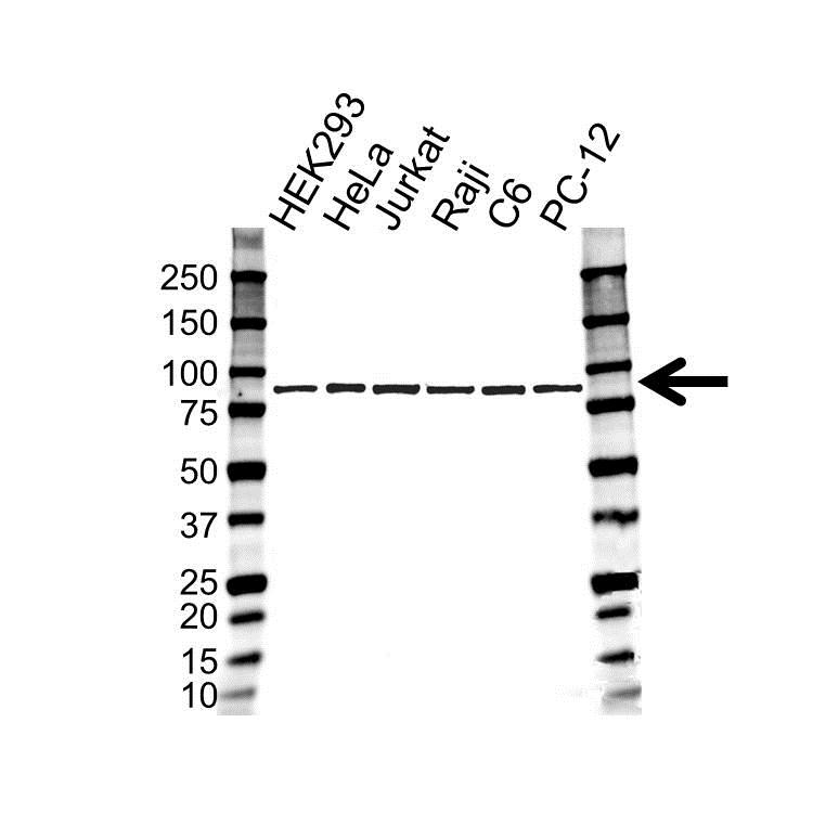Anti SUMO-1 Antibody (PrecisionAb™ Monoclonal Antibody) gallery image 1
