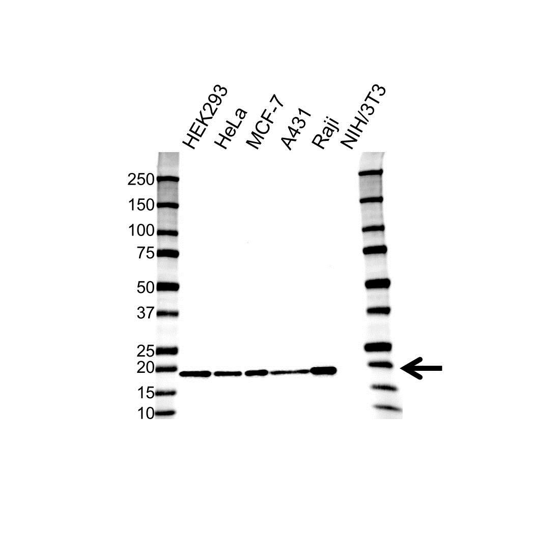 Anti Superoxide Dismutase (Cu-Zn) Antibody (PrecisionAb Monoclonal Antibody) gallery image 1