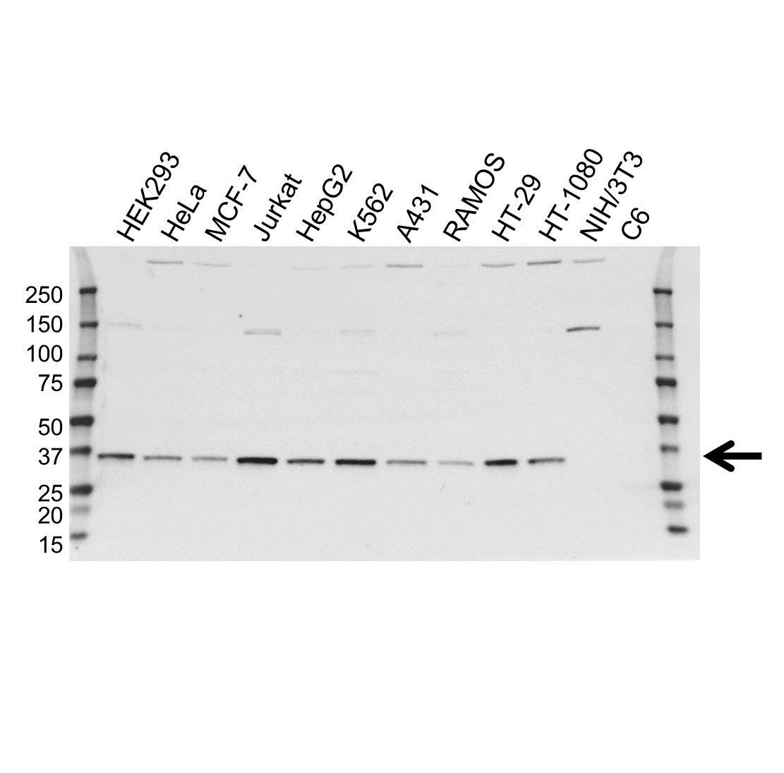 Anti SUPT3H Antibody, clone OTI3D1 (PrecisionAb™ Monoclonal Antibody) gallery image 1