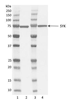 Anti Syk Antibody, clone SYK-01 gallery image 1