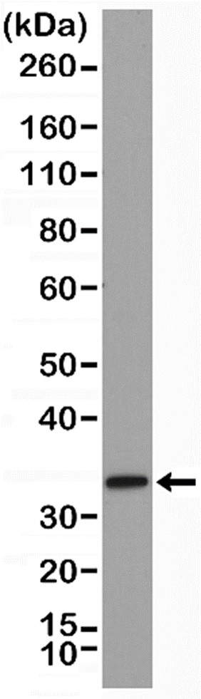 Anti SYNTAXIN-1A Antibody, clone RM367 thumbnail image 1