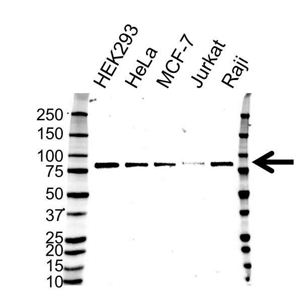 Anti TAB2 Antibody (PrecisionAb Monoclonal Antibody) gallery image 1