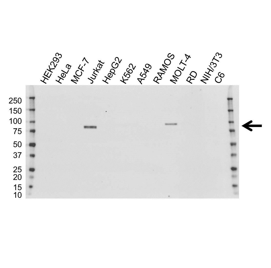 Anti TCF12 Antibody, clone OTI4D6 (PrecisionAb Monoclonal Antibody) gallery image 1