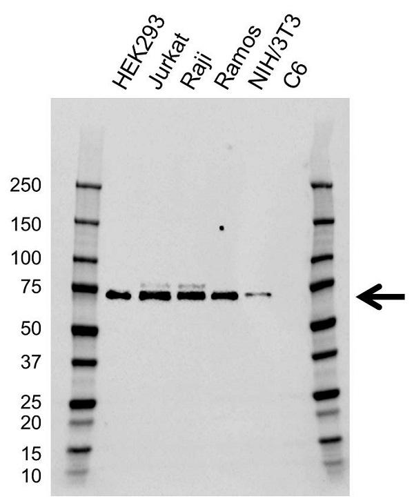 Anti TCF3 Antibody, clone CD01/1E7 (PrecisionAb Monoclonal Antibody) gallery image 1