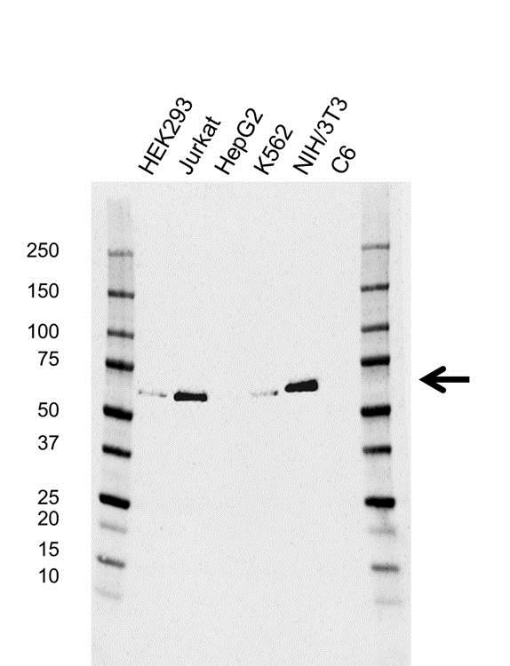 Anti TCF4 Antibody, clone AB01/4A12-6-6 (PrecisionAb™ Monoclonal Antibody) gallery image 1