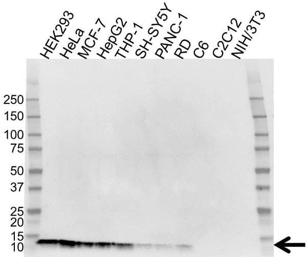 Anti Thioredoxin 1 Antibody (PrecisionAb Monoclonal Antibody) gallery image 1