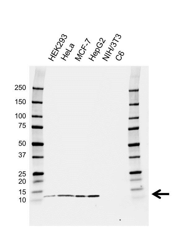 Anti Thioredoxin Antibody, clone 1850CT572.62.73 (PrecisionAb™ Monoclonal Antibody) gallery image 1