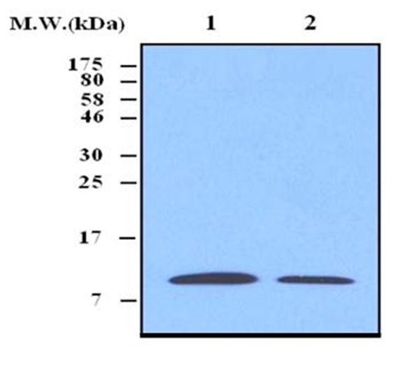 Anti Thioredoxin Antibody, clone 3A1 gallery image 1
