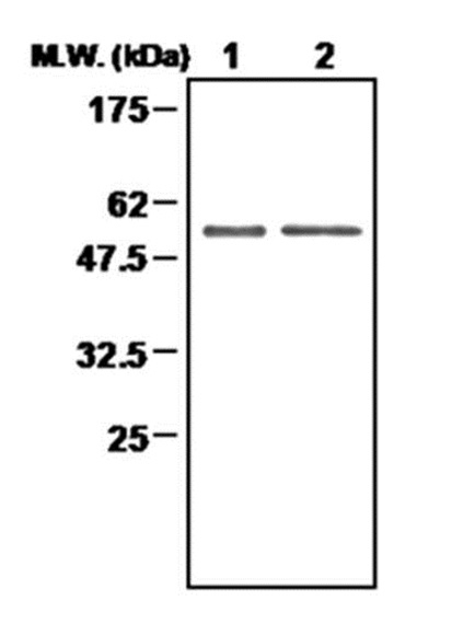 Anti Thioredoxin Reductase 2 Antibody, clone 7B2 gallery image 1