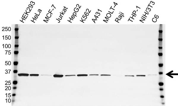 Anti Thymidylate Synthase Antibody, clone OTI9H4 (PrecisionAb Monoclonal Antibody) gallery image 1