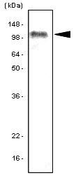 Anti Human TLR7 Antibody, clone 4F4 gallery image 1