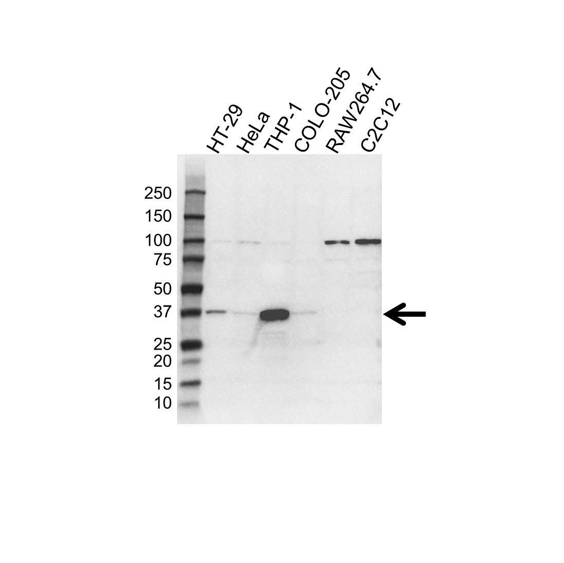 Anti TMEM173 Antibody, clone 4H1 (PrecisionAb Monoclonal Antibody) gallery image 1