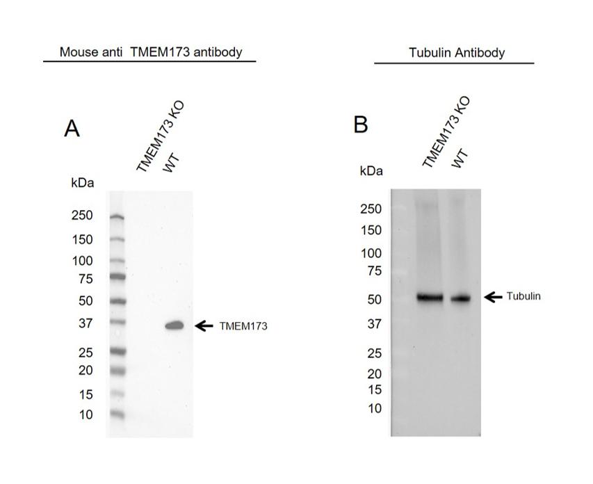 Anti TMEM173 Antibody, clone OTI4H1 (PrecisionAb Monoclonal Antibody) thumbnail image 1