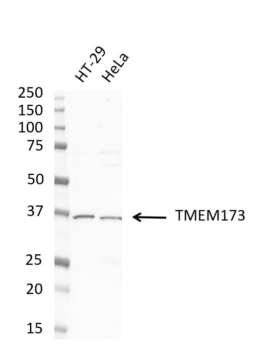 Anti TMEM173 Antibody, clone OTI4H1 (PrecisionAb Monoclonal Antibody) thumbnail image 3
