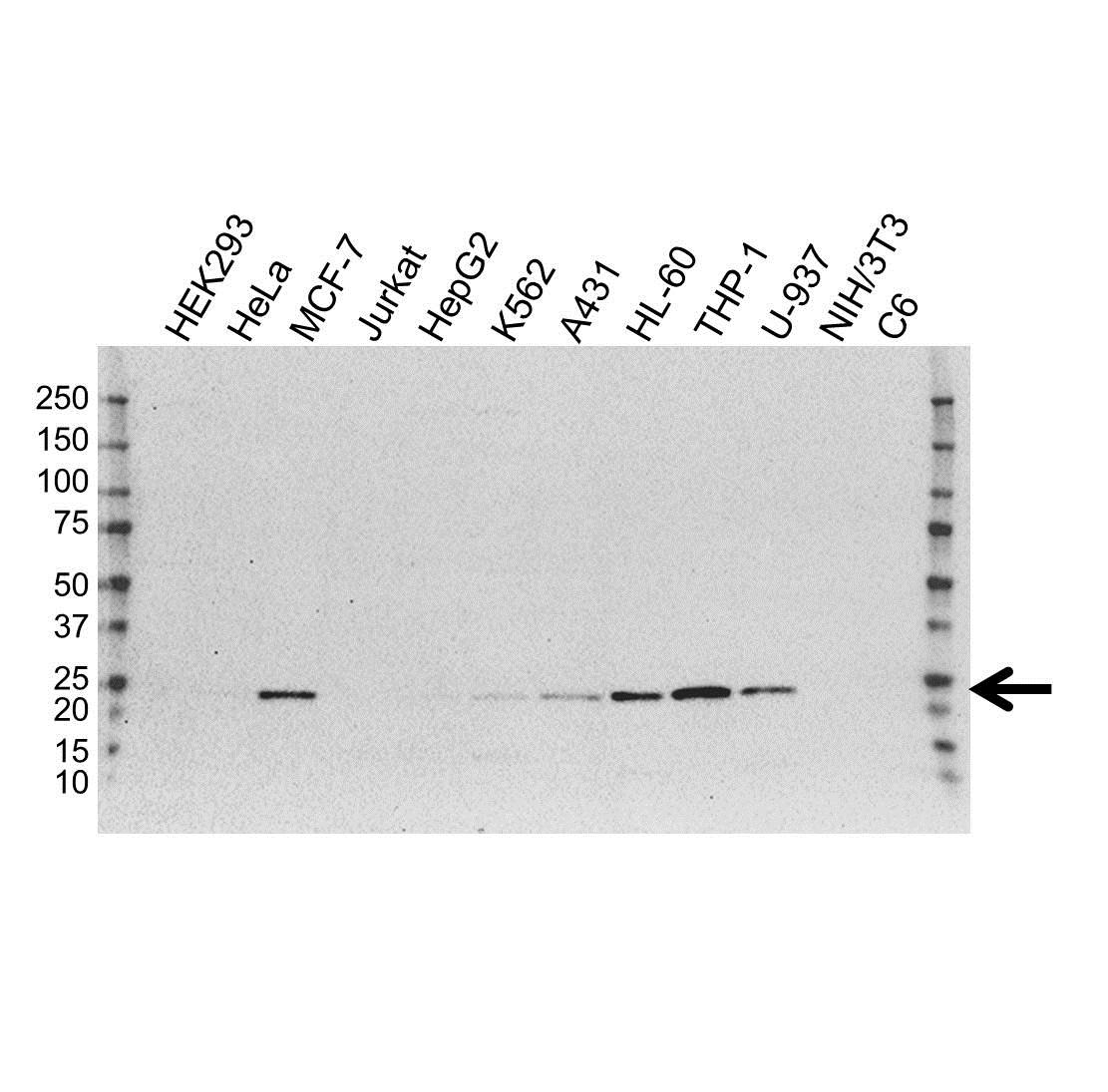 Anti TMS1 Antibody, clone OTI1A2 (PrecisionAb Monoclonal Antibody) gallery image 1