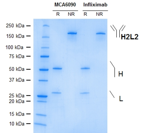 Anti TNF Alpha (Infliximab Biosimilar) Antibody, clone cA2 thumbnail image 1