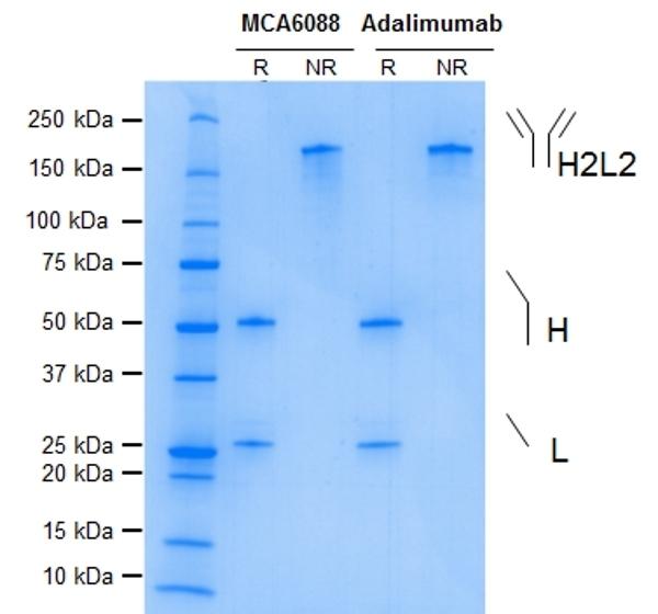 Anti TNF Alpha (Adalimumab Biosimilar) Antibody, clone D2E7 thumbnail image 1