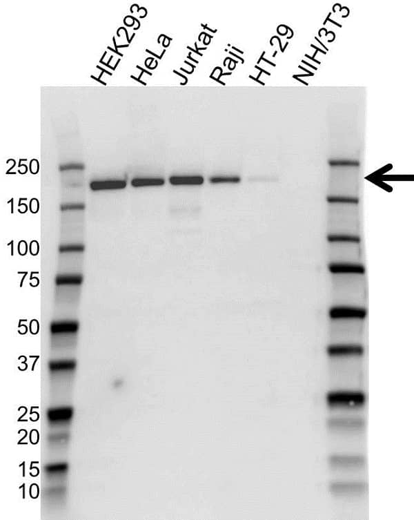 Anti Topoisomerase II Alpha Antibody (PrecisionAb Monoclonal Antibody) gallery image 1
