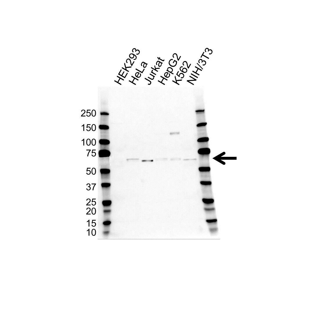 Anti TRAF5 Antibody (PrecisionAb Monoclonal Antibody) gallery image 1