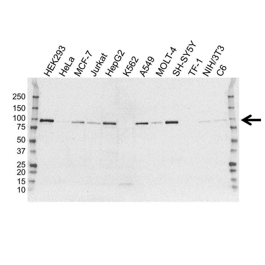 Anti Transducin-Like Enhancer Protein 1 Antibody, clone OTI1F5 (PrecisionAb Monoclonal Antibody) gallery image 1