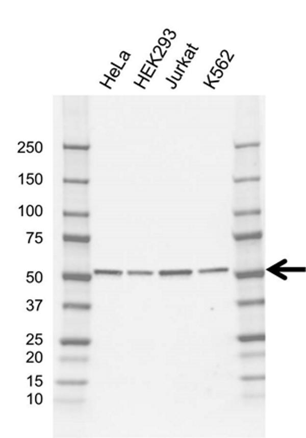 Anti TRIM21 Antibody, clone AB01/1G5 (PrecisionAb Monoclonal Antibody) gallery image 1