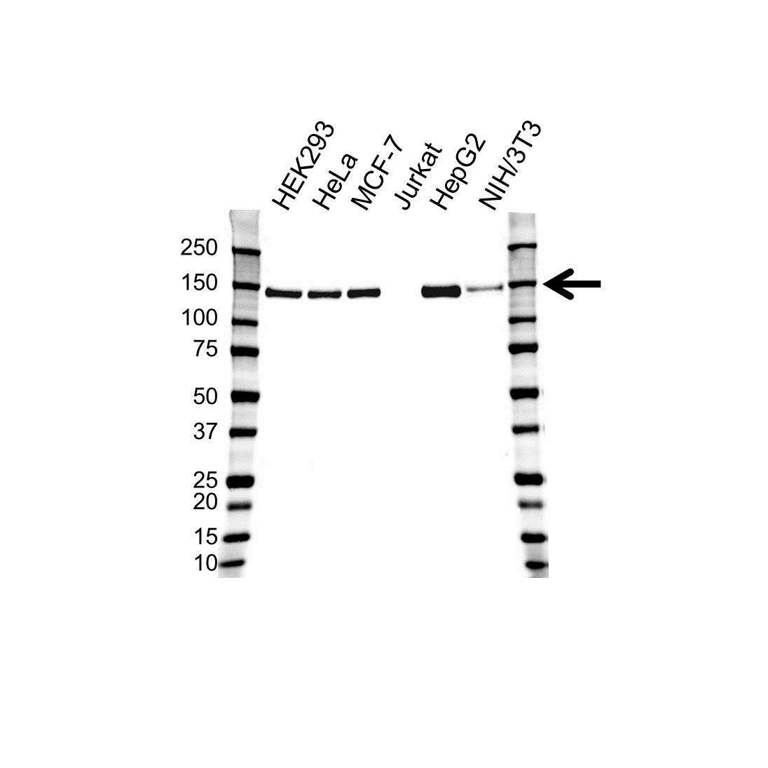 Anti TRIM24 Antibody, clone OTI2D9 (PrecisionAb Monoclonal Antibody) gallery image 1