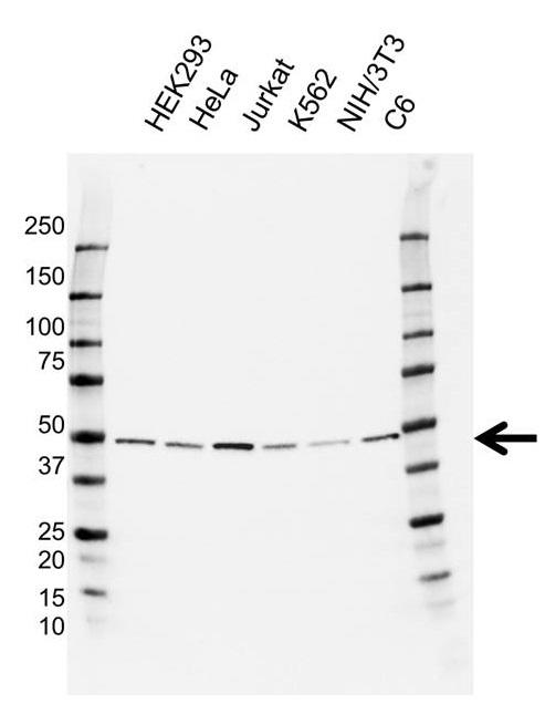 Anti TUBG1 Antibody, clone CD01/3H7 (PrecisionAb Monoclonal Antibody) gallery image 1