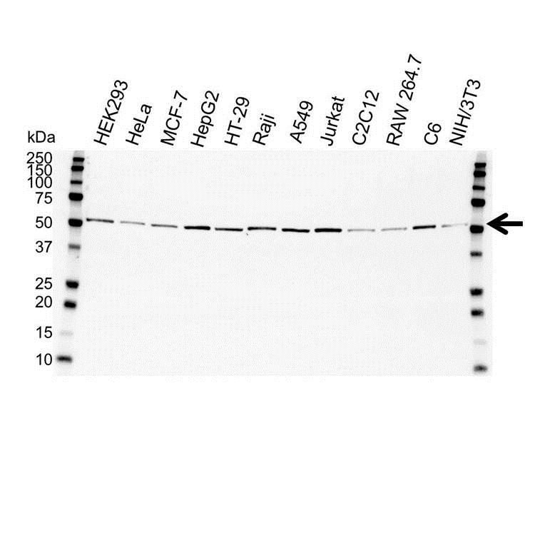 Anti Tubulin Alpha Antibody (PrecisionAb™ Monoclonal Antibody) gallery image 1