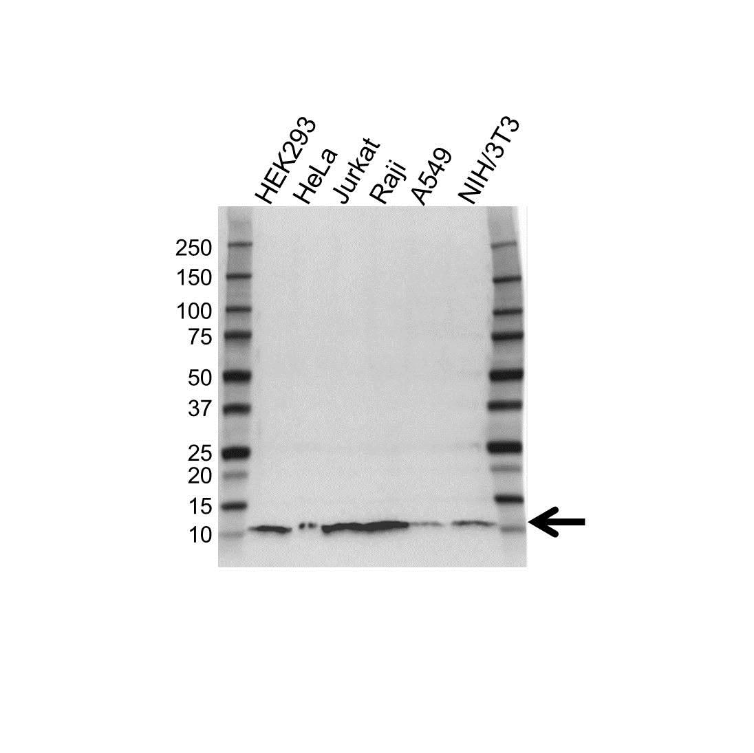 Anti UBA52 Antibody, clone 4F2 (PrecisionAb Monoclonal Antibody) gallery image 1