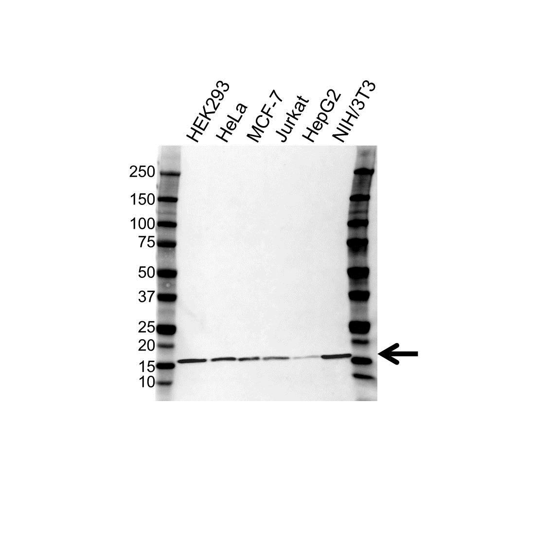 Anti UBE2D2 Antibody, clone 3H1 (PrecisionAb™ Monoclonal Antibody) gallery image 1